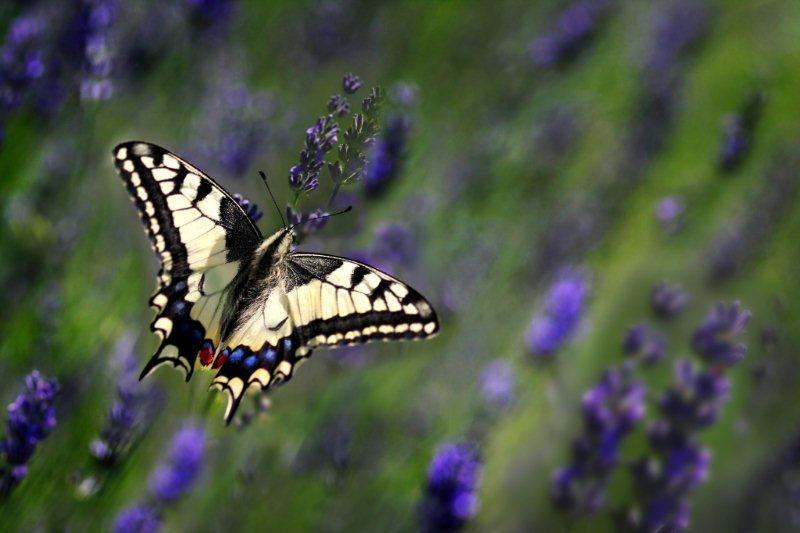 Bognár Róbert::Pillangó a levendulásban