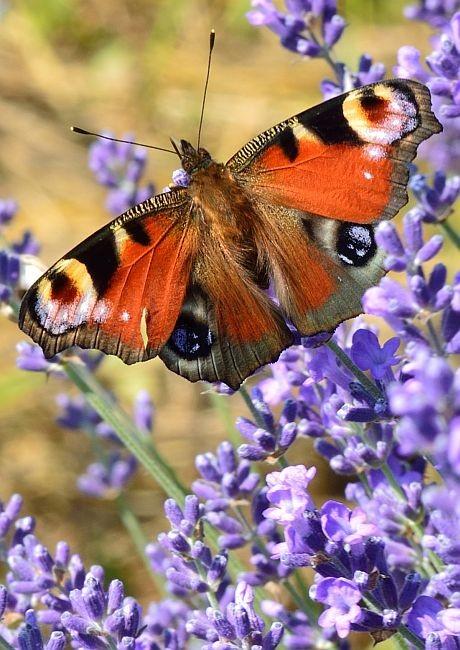 Csere Adrienn::Pillangó a Levendulásban